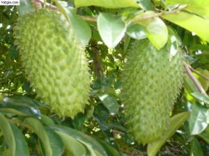 Cây giống mãng cầu xiêm, cây giống  sa kê, cây giống măng cụt, cây giống măc ca, chuẩn giống, số lượng lớn