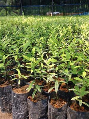 cây đàn hương có thể trồng được