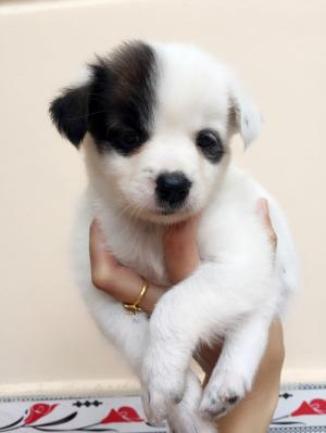 Bán cún nhật mini lông xù
