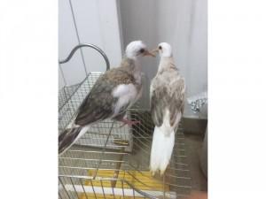 Bán cặp chim cu gáy thái non