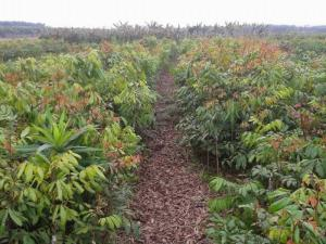 Cây giống nhãn không hạt, nhãn tím, cây nhãn, cây giống chất lượng cao