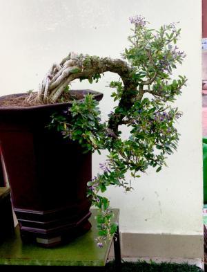 Bán cây linh sam đẹp