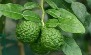 Chuyên cung cấp cây giống chanh não người, chanh trúc (chanh chúc), chanh lá số 8 nhập khẩu, giao hàng toàn quốc