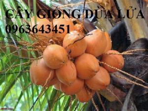 Chuyên cung cấp cây giống dừa: dừa xiêm xanh lùn, dừa dứa, dừa dây, dừa đỏ, dừa lửa, dừa xiêm chuẩn, hỗ trợ kỹ thuật