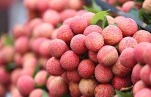 Cung cấp giống cây vải u, vải u hồng, vải sớm, vải u sớm, chuẩn giống, giao cây toàn quốc