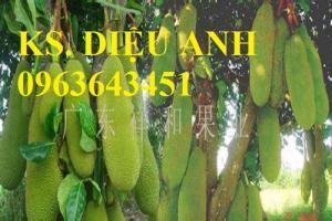 Mua cây giống mít trái dài Đài Loan, mít mã lai, mít quả dài Đài Loan
