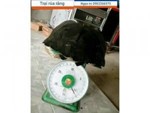 Rùa Răng Thịt Long Mỹ Hậu Giang