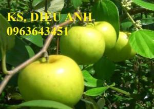 Mua cây giống táo: cây giống táo Thái, cây giống táo ngọt quả to, cây giống táo Thái Lan ở đâu?