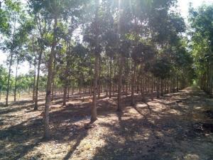 Cần bán gấp 15ha đất caosu đang thu hoạch
