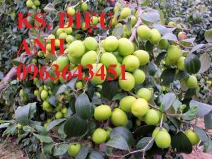 Mua cây giống táo: cây giống táo lê Đài Loan, cây giống táo lai lê, cây giống táo Đài Loan chuẩn F1 ở đâu?