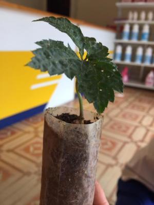 Chuyên cung cấp cây giống, hạt giống dược liệu: cây giống sâm ngọc linh, hạt giống sâm ngọc linh chuẩn, giao cây toàn quốc