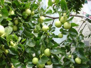 Cây giống táo H12, giống táo H12, táo H12 cây giống, cây táo H12 giống, chuẩn giống.