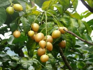 Cây giống quất hồng bì, giống cây quất hồng bì, cây quất hồng bì, chuẩn giống.