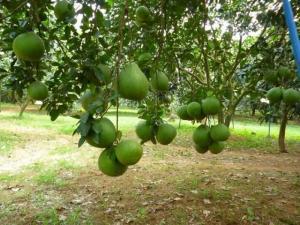 Cần Bán Lại Trang Trại Trồng Cam Quýt Bưởi- Ao Vườn Rộng Hơn 8.5 Hécta