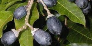 Cây giống trám đen, giống cây trám đen, trám đen cây giống, chuẩn giống.