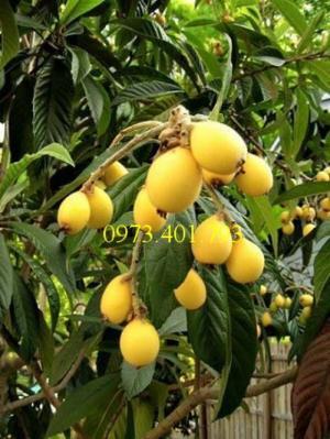 Giống cây Biwa nhập khẩu, độc lạ