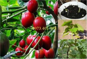 Giống cây cà chua thân gỗ uy  tín