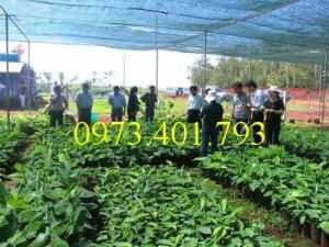 Các loại cây giống chuối chất lượng, giá rẻ