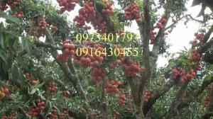 Cung cấp các loại cây giống vải chất lượng, giá rẻ