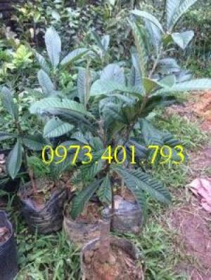 Cung cấp giống cây Biwa chất lượng, giá rẻ
