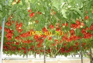 Hạt giống  cà chua bạch tuộc uy tín