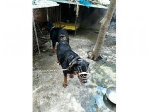 Phối giống Rottweiler dòng Đại 75kg BD