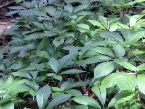 Chuyên cung cấp cây giống sâm ngọc linh, giống cây sâm ngọc linh,hạt giống sâm ngọc linh.