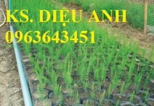 Chuyên cung cấp cây giống, hạt giống măng tây xanh, măng tây tím
