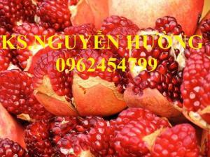 Cung cấp giống cây lựu lùn cao sản, lựu lùn quả đỏ, lựu lùn đỏ Thái, lựu lùn đỏ Ấn Độ