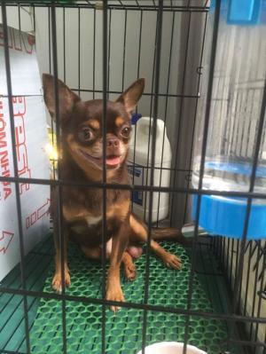 Chó Chihuahua nhận phối giống