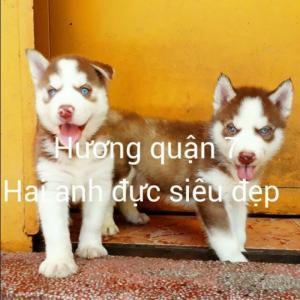 Bán Bầy Chó Husky Thuần Chủng Nâu Đỏ To, Hỏa Tiễn Rõ Cực Đẹp