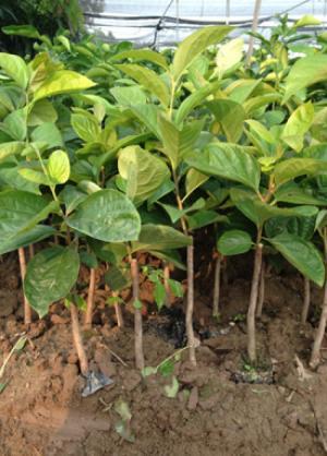 Giống cây hồng giòn, Trung tâm giống cây trồng công nghệ cao Việt Nam