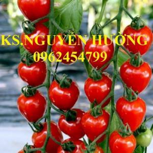 Chuyên Cung cấp Cây giống cà chua, hạt giống cà chua leo giàn, cà chua bạch tuộc, giao hàng toàn quốc