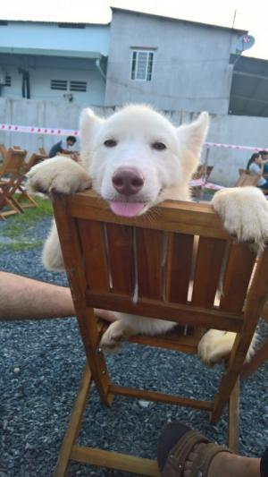 1/2 Husky trắng đực 4 tháng tuổi