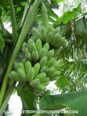 Mô hình trồng chuối trái vụ và kỹ thuật điều khiển chuối ra quả trái vụ