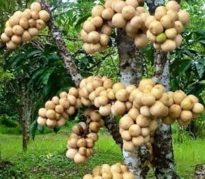 Cây giống bòn bon, cây giống dâu da đất, giống cây bòn bon, giống cây dâu da đất