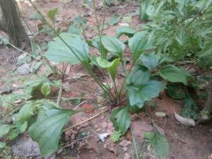 Cây Mã Đề (Bông mã đề- 4-5 cây/ chậu)