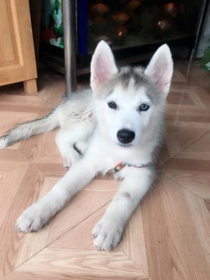 Bán chó Husky thuần chủng