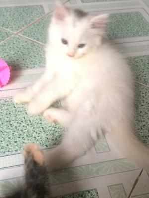Cần bán 1 Bé Mèo Anh LD  màu Trắng 3 tháng