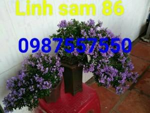 Bonsai mini linh sam 86