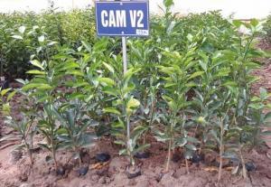 Cung cấp cây giống cam V2 chuẩn