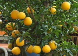 Cung cấp cây giống bưởi diễn chất lượng chuẩn