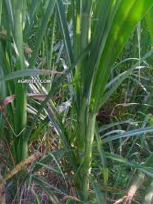 Cỏ VA06, hom giống cỏ VA06