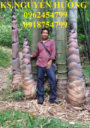 Giống cây tre khổng lồ, tre thái lan, cây tre khổng lồ thái nhập khẩu,uy tín