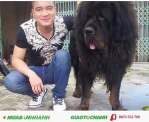 Bán chó ngao Tây tạng thuần chủng