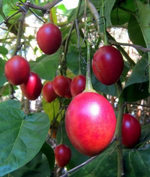 Cây giống cà chua thân gỗ, giống cây cà chua leo giàn, hạt cà chua thân gỗ.