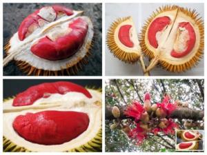 Cây giống sầu riêng ruột đỏ, giống cây sầu riêng ruột đỏ, sầu riêng ruột vàng.