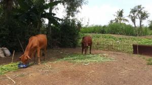 Bán 02 con bò lai tại Long Khánh Đồng Nai