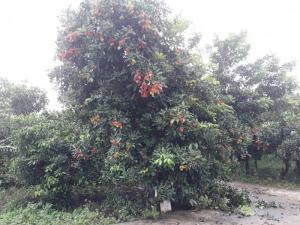 Cho thuê hoặc hợp tác 1 nông trại cây ăn trái, trại nuôi gà,nấm đường quốc lộ Long Khánh, ĐN