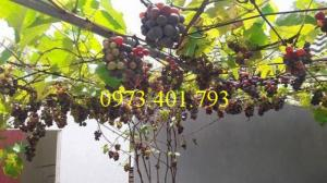 Giống cây nho Pháp giá rẻ